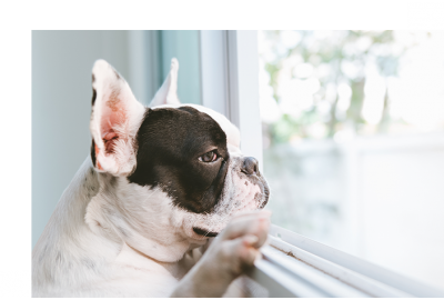 Dog home alone looking out window