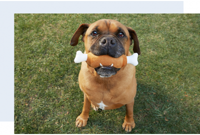 Brown dog holding dog toy