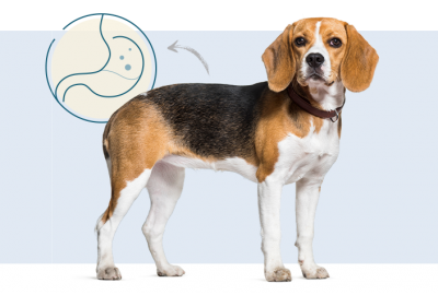 Beagle with a healthy stomach