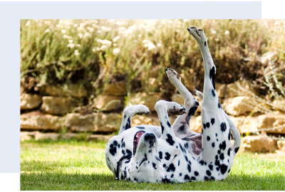 Dalmation Scratching Its Back on Grass